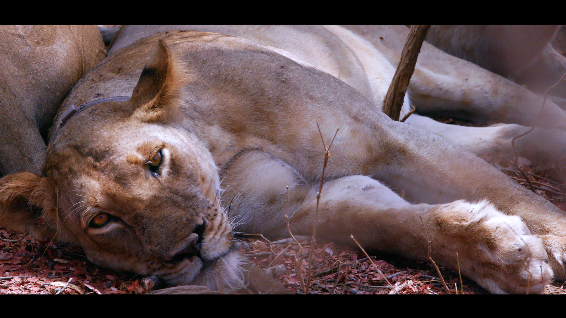 ZCP Lioness.png