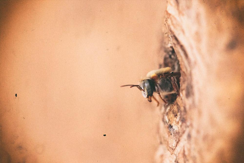 The Melipona Bee