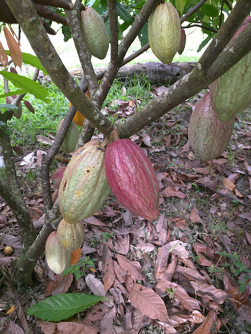 A cocoa plant in PNG.