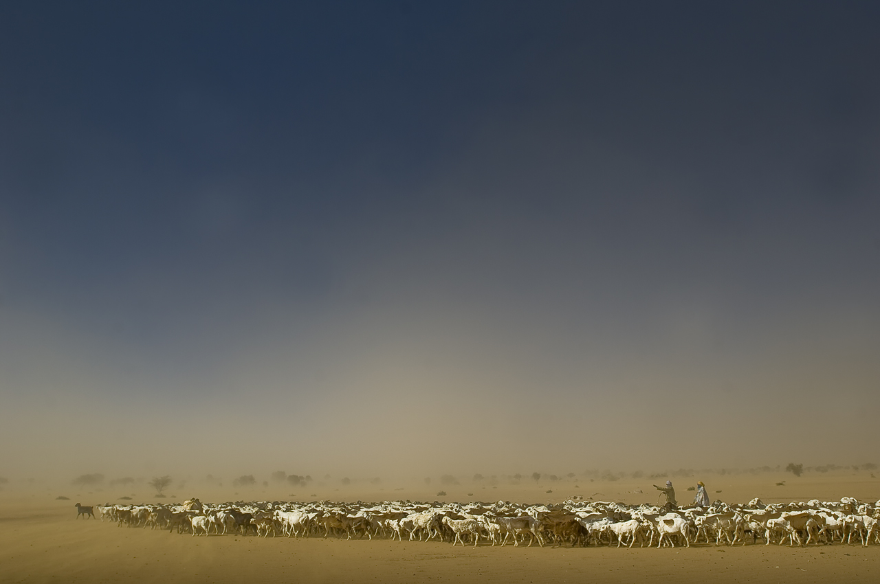 7.30 a.m. in the vicinity of Oure Cassoni camp. A couple of sheperds are pushing a herd of sheeps to go to a wadi (dry river), several kilometers from there, where water and grass are still available even during dry season. To be able to go on with their activities, tens of refugees gather their animals to organize one big herd that few refugees lead and guard. The immense majority of the refugees living in the camp belong to the Zaghawa tribe which composes the JEM (Justice and Egality Movement), the main and more assertive darfurian rebel group. Oure Cassoni camp (31 800 refugees in december 2011), 18 kilometers north from Bahai, 361 kilometers north-east from Abeche, 17 kilometers from the sudanese border, was opened in july 2004.