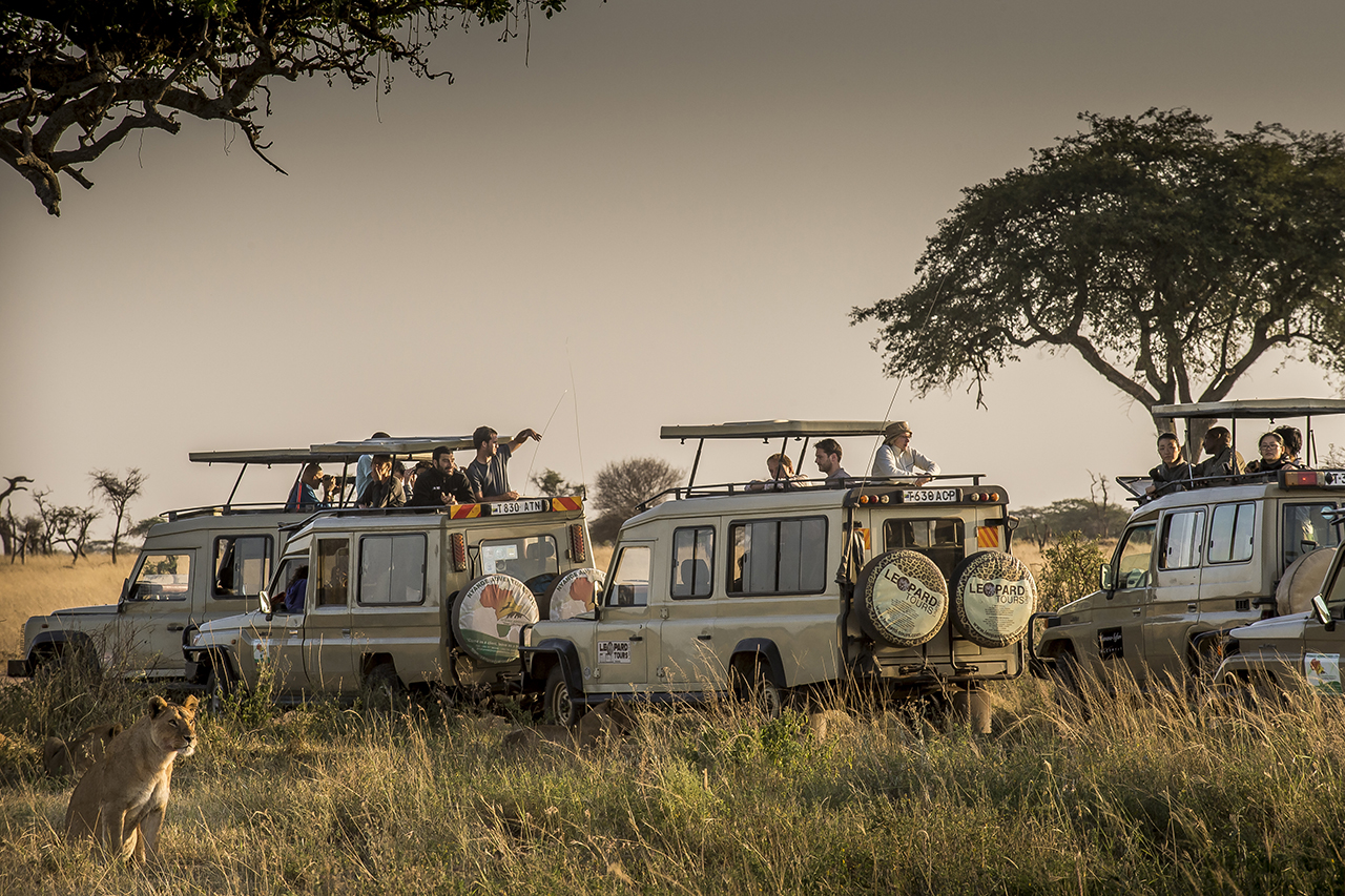 A fleet of 4x4 designed to allow tourists to watch and photograph the animals stopped near a lioness who takes the morning sun next to a track in Seregenti Park. In 2012, the park was visited by approximately 170,000 tourists from around the world. Tourism contributes 17.5% of Tanzania's gross domestic product (in 2016) with estimates of up to 25% for the coming years. 11.0% of the national workforce (1,189,300 people) in 2013 was employed in the tourism sector.