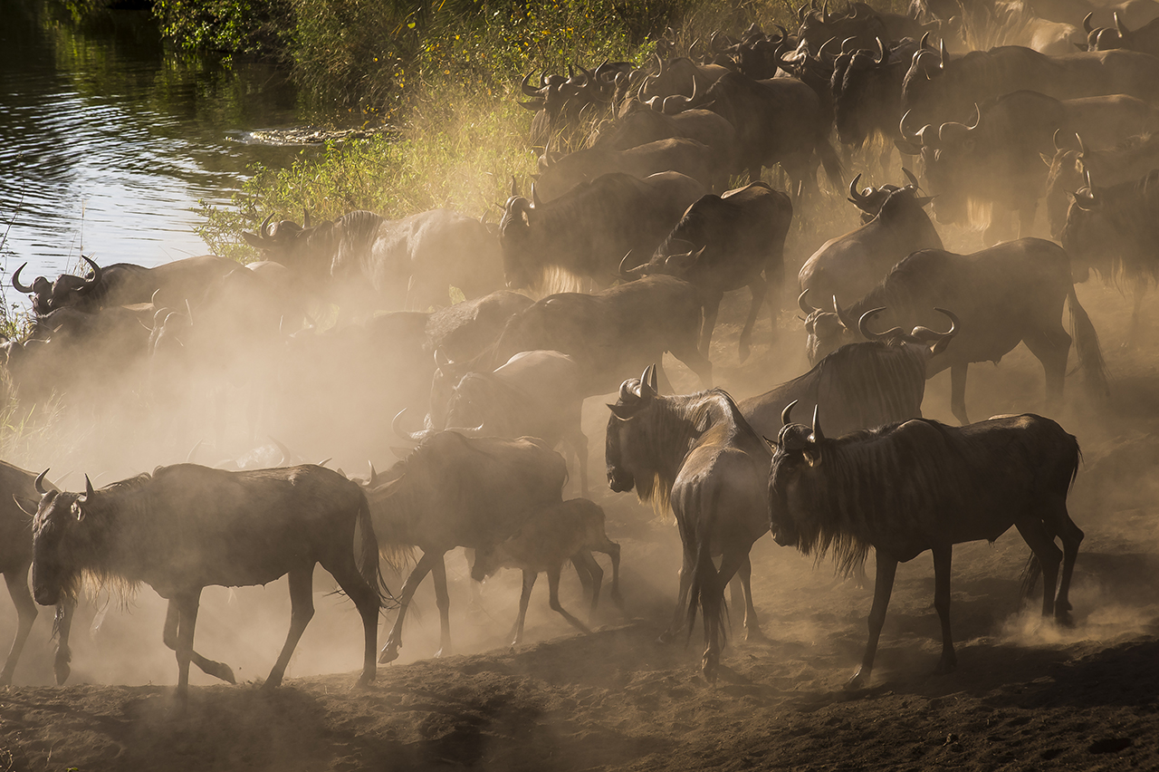 """The great migration of the wildebeests of the Serengeti is one of the largest animal migrations in the world, a unique phenomenon. Twice a year, about two million wildebeests, cross the Serengeti in Tanzania to find their food. They are followed by several hundred thousand zebras and Thomson antelopes. Between the end of January and the month of March, wildebeest herds are concentrated in the southeast of the park. In March-April, the wildebeests leave the great plains of the South to begin an endless walk through the national park, classified """"world heritage"""" by Unesco. They return to their starting point 7 to 8 months later. Wildebeests seek the water they need and the green grass (young and tender) that is rich in protein and easier to digest.  Cattle herds and water scarcity threaten the ecosystem. In addition, climate change in the form of rain delay, seems to have changed the old cycle."""