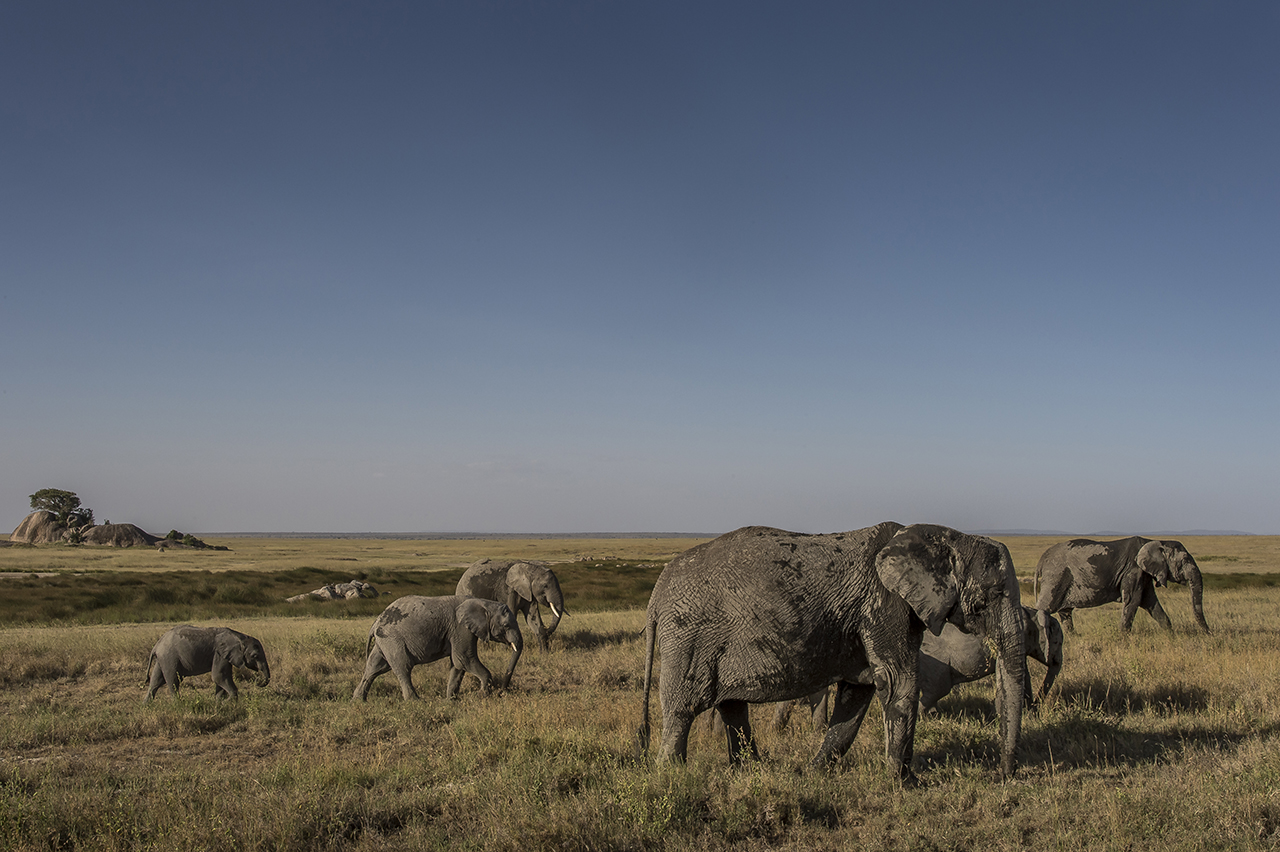 """Elephants close to Asilia Camp.  Unlike most other regions of Africa, the number of elephants in the Serengeti has increased again in recent years through a more effective fight against poaching. By 2014, the elephant population in Serengeti was estimated at 6,000 against 3,068 five years earlier.  The trend elsewhere in Tanzania is reversed: in 2009, about 109,000 elephants lived in Tanzania, while a 2014 survey only numbers the population at about 44,000.  Why are the Serengeti figures better? Success seems to be due in part to the 300 rangers patrolling the park. The presence of tourists also help. """"The more people who walk around here, the harder it is for poachers to hide,"""" explained Robert Muir, then Director of the Africa Bureau of the Frankfurt Zoological Society in the Serengeti National Park (he changed work since)."""