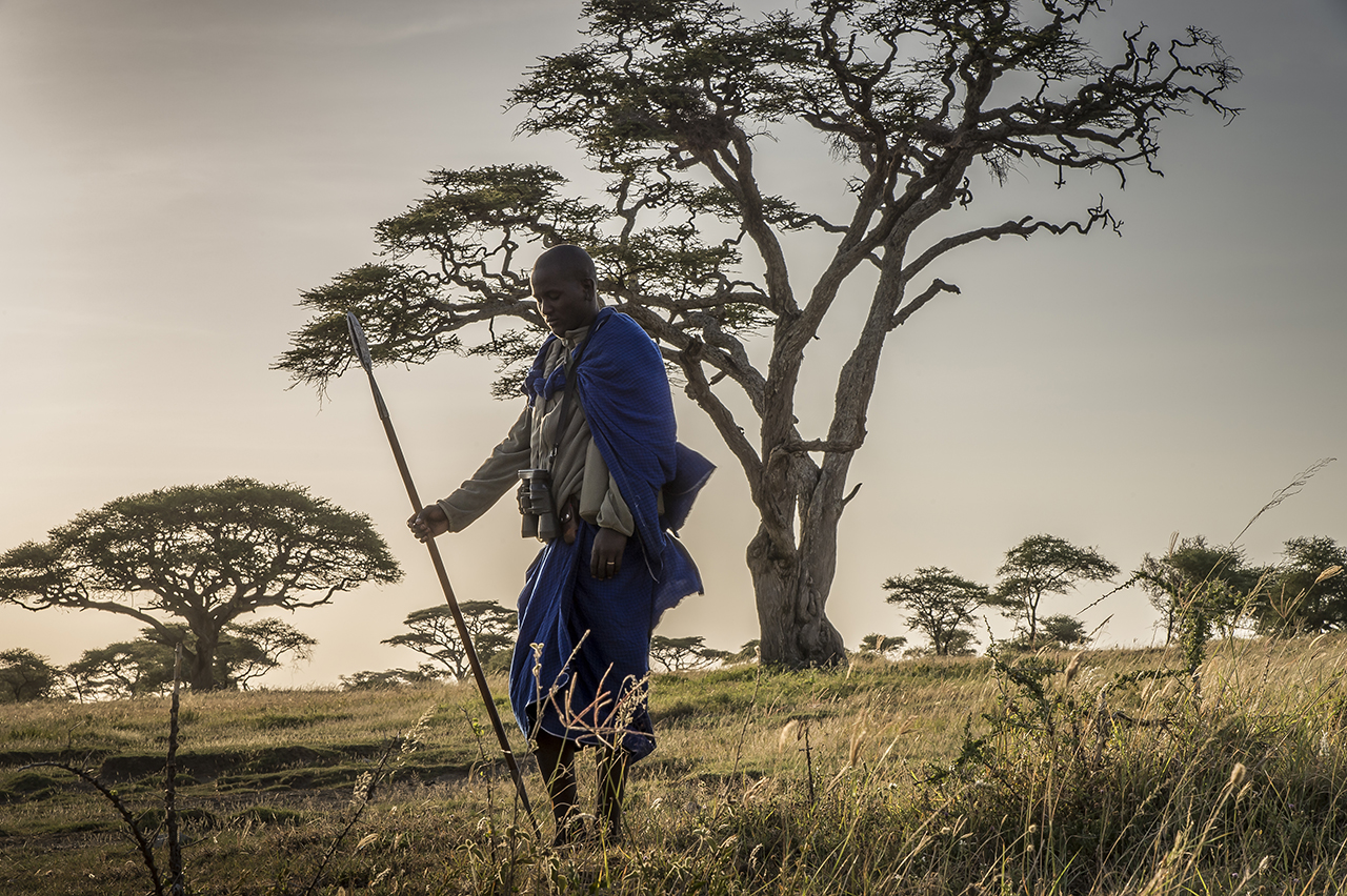 Early morning in the eastern part of Serengeti Park. A young Masai warrior takes a break while accompanying the walking tour of a group of tourists in the Serengeti. Their presence is less due to folklore than their propensity to discern with an impressive acuity the animals at medium and long distance. The cohabitation between lions and Masai has proved delicate. The situation is particularly difficult in the eastern part of the park, in the protected areas of Louldo and Ngorongoro, where Masai communities have settled. Shepherds traditionally live with their herds of cattle, which they regard as a symbol of life and prosperity. More and more Masai and thus more and more cattle have migrated to the area in recent years, involving a strong overgrazing. The Masai would like to drive their cattle in the Serengeti, but can not ...