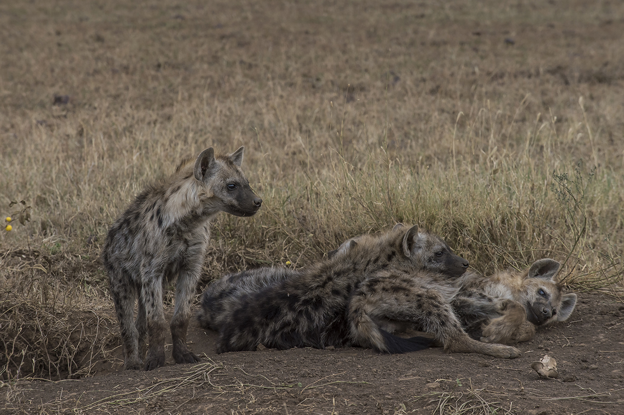 """A group of young spotted hyenas lazing at the end of the day in the Seregenti. The Spotted Hyena is the most numerous large predator in the Serengeti Ecosystem and throughout sub-Saharan Africa. There are more than 500 hyenas belonging to 12 Serengeti clans. Individuals can be recognized by their unique spot patterns, scars, and natural ear notches. The current population of spotted hyenas is estimated, in the entire Serengeti Ecosystem at approximately 7,700 animals. This averages to 0.4 hyenas per square kilometer. Actual density varies both spatially and temporally. Clans occupying the plains contain more members than clans in the woodlands. However, hyenas from both these habitats """"commute"""" to the migratory herds of wildebeest and zebra when prey within their own territory is scarce.  A hyena may live up to 20 years in the wild. However life is full of dangers; in particular lions ensure that few hyenas reach old age."""