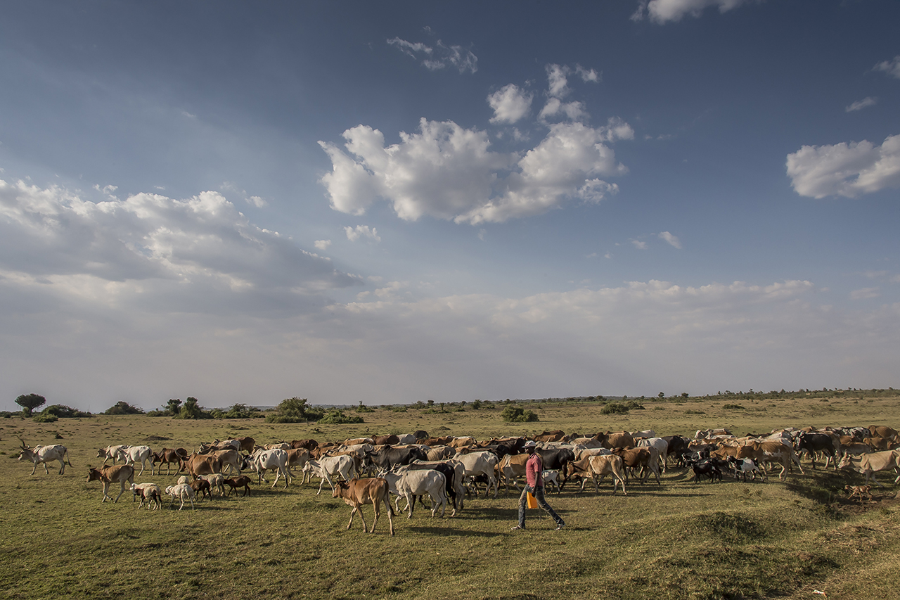 """A shepherd leads his herd to pasture near the Serengeti. Although in Tanzania grazing is prohibited in national parks and other protected areas, in recent years, livestock keepers are increasingly driving livestock on reserves. The Serengeti National Park is not immune to pressure from pastoralists that threatens the viability of tourism.  Park Chief Warden William Mwakilema recently said, """"As a Conservative, I am very concerned about the current trend. The situation is bad because now citizens come with their livestock to the park for grazing and carry out agricultural activities in the park. If this situation continues in the coming years, it will threaten the existence of the Serengeti National Park. This UNESCO World Heritage site is likely to become a history of the past in 20 to 25 years if there are no practical measures. """"  The population has rapidly increased at the periphery of the park as a corollary to the increase in the Tanzanian population: 8,000,000 in 1961, 50,000,000 in 2015. At this rate, the number could double in 20 years."""
