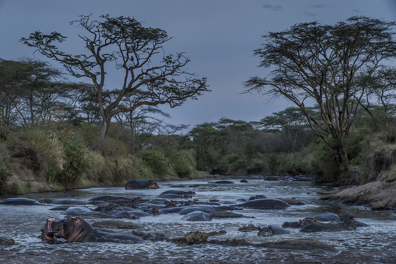 Along a ford of a river crossing the Serengeti Park, a herd of hippopotamuses bask in the water at nightfall. Herbivores, these animals graze at night in the bush. They are about to get out of the water in search of food.