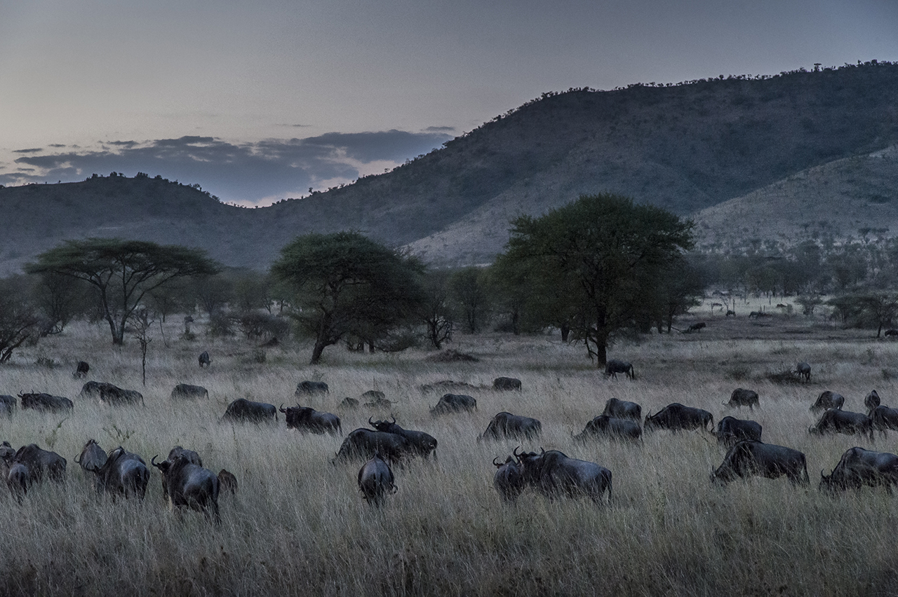 Night falls on the Serengeti National Park. A herd of wildebeest is grazing on. It is the period of the year when they gather together in increasingly large herds, a premise for the great migration, one of the last mass migrations of large ungulates on earth.  In general, wildebeests follow an eternal cycle: In February, they bring their calves into the grassy plains around Lake Ndutu in the south of the Serengeti and then slowly move northward on the Masai Mara, a plain of southern Kenya, in search of greener pastures and water. At the end of the year, with the beginning of the rainy season in Tanzania, they return. The fluctuating timing of the rainy season and dry periods, linked to climate change, changes the moment of migration by several weeks. So it may happen that tourists, even in high season do not see the animals ...
