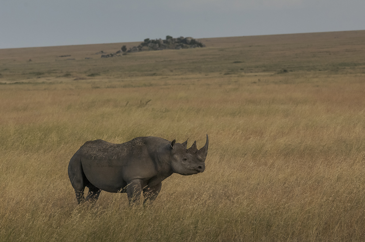 Rajabu, a massive male rhinoceros over 40 years old, has made it possible to repopulate the area. Indeed, in the early 1990s poachers reduced the black rhino population of the Serengeti to two females, until the moment when, from the nearby protected area of gorongoro, Rajabou migrated to the area in 1993. A stroke of luck. Thus, while slaughtering animals in South Africa results in degeneration, the Serengeti population is growing. Currently, five to six pups are born each year. Today, they are around fifty. The park's ecosystem certainly has room for several thousand of them. A hundred years ago, there were more rhinoceros than elephants. The situation of the rhinoceros is worse than that of the elephants at present There are about 5,000 blacks in Africa and about 20,000 whites.  A transmitter is implanted in the horn of Rajabu to allow rangers to locate and monitor it. The rhinoceros are solitary, timid and at the same time dangerous. If one gets too close to them they can charge.