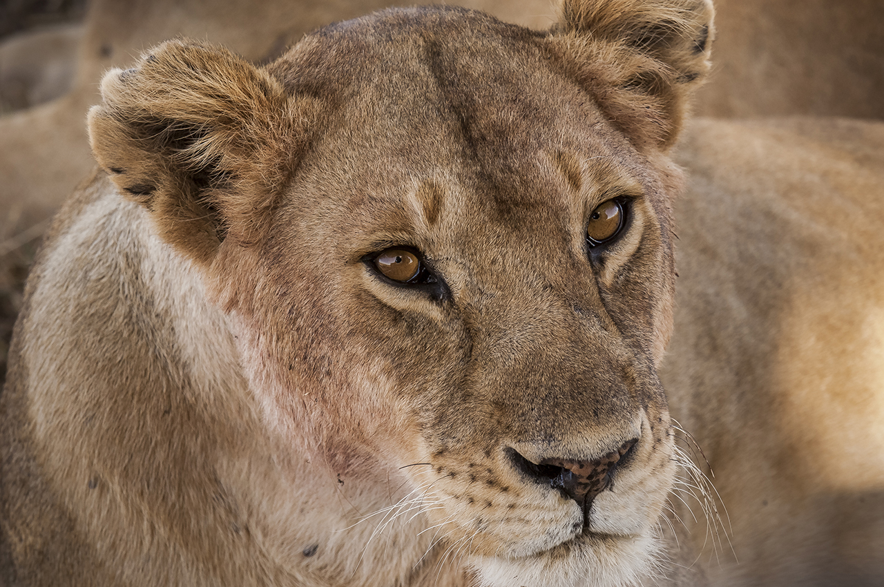 A lioness in the Serengeti plain. With about 3,000 animals, the Tanzanian National Park is home to one of the largest populations of African lions.