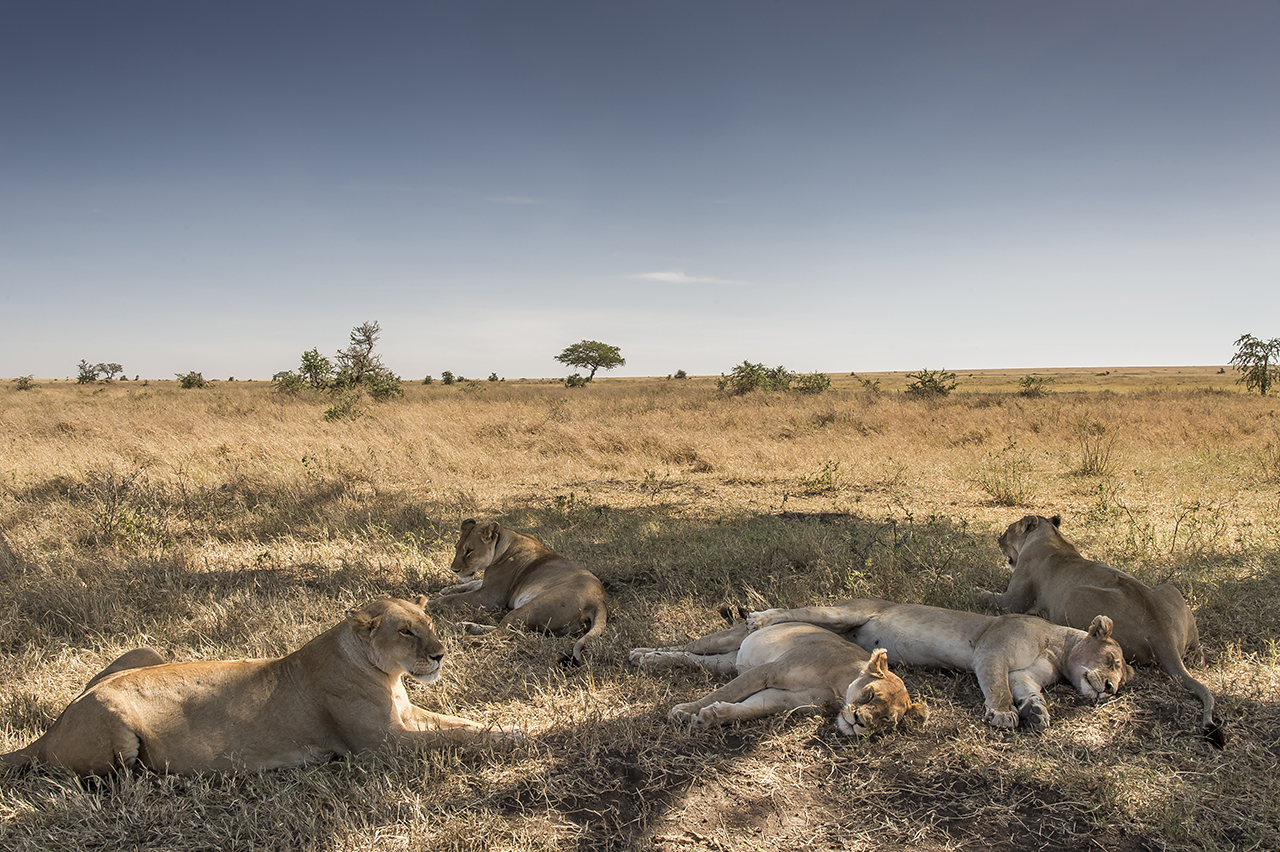 A group of lionesses is losing back in the plain of the Serengeti. With about 3,000 animals, the Tanzanian National Park is home to one of the largest populations of African lions.