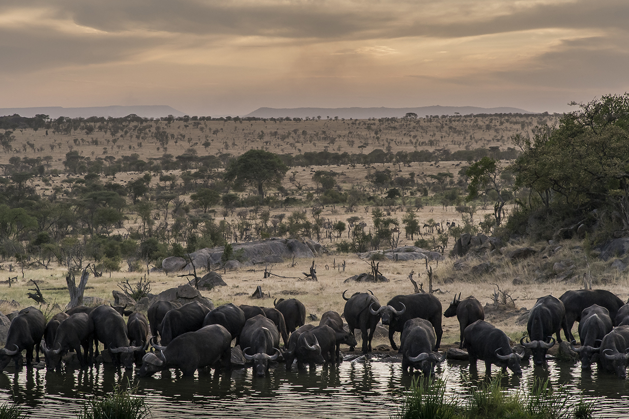 """A herd of buffaloes drink at a watering point in Serengeti Park at sunset. Buffalos belong to the Big Five, the most sought-after animals by hunters in the last century and the most sought after by tourists. """"The most dangerous of big game,"""" admitted a guide. While an angry elephant simulates a charge, flaps his ears and furiously flagellates his trunk as a warning, a buffalo attack is sudden and a real danger of death."""