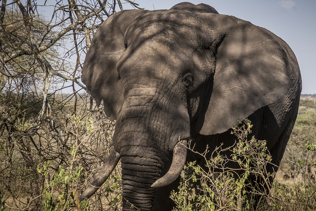 """Unlike most other regions of Africa, the number of elephants in the Serengeti has increased again in recent years through a more effective fight against poaching. By 2014, the elephant population in Serengeti was estimated at 6,000 as against 3,068 five years earlier.  The trend elsewhere in Tanzania is opposite: in 2009, about 109,000 elephants lived in Tanzania, while a 2014 survey only numbers the population at about 44,000.  Why are the Serengeti figures better? Success seems to be due in part to the 300 rangers patrolling the park. The presence of tourists also help. """"The more people who walk around here, the harder it is for poachers to hide,"""" explained Robert Muir, then Director of the Africa Bureau of the Frankfurt Zoological Society in the Serengeti National Park (he changed work since)."""
