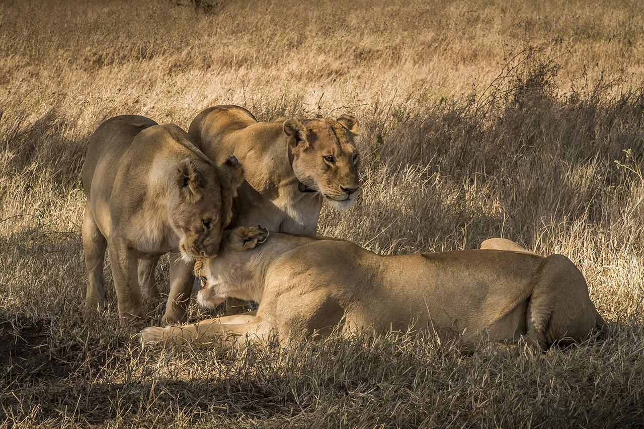 A group of lionesses is lounging in the plain of the Serengeti. With about 3,000 animals, the Tanzanian National Park is home to one of the largest populations of African lions.