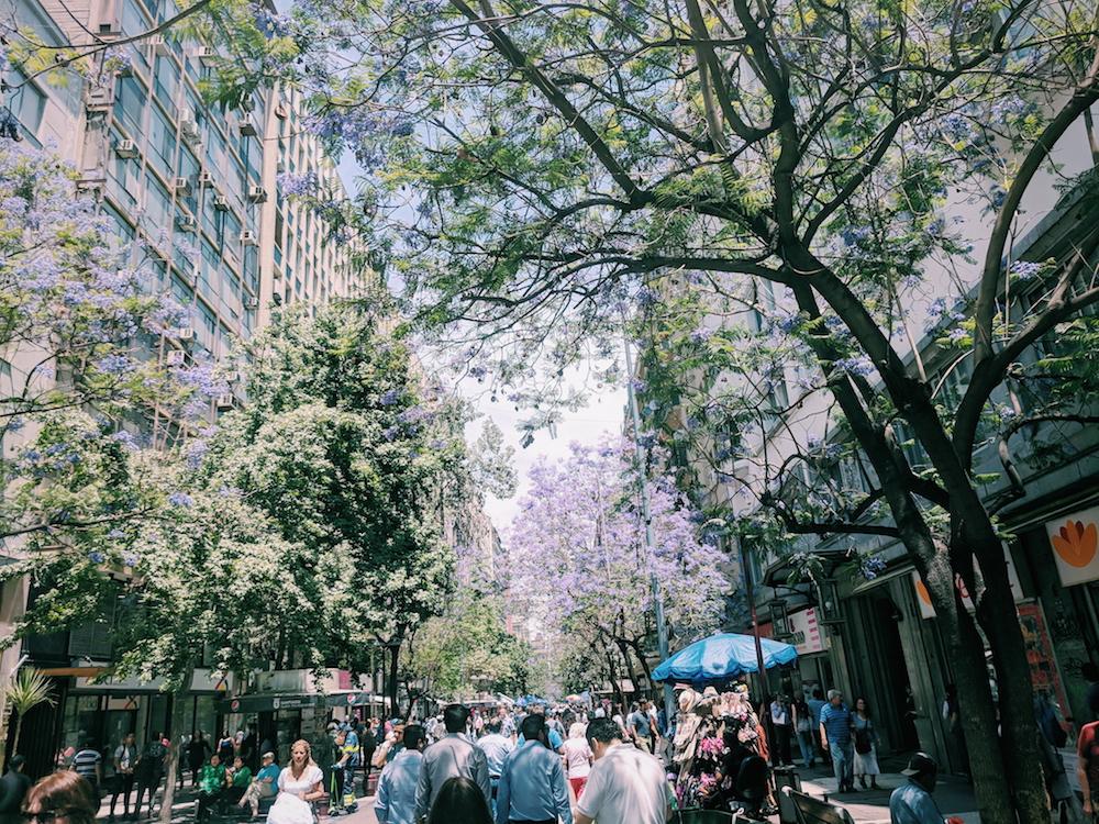 Jacarandas  in full lilac bloom in Santiago, Chile.