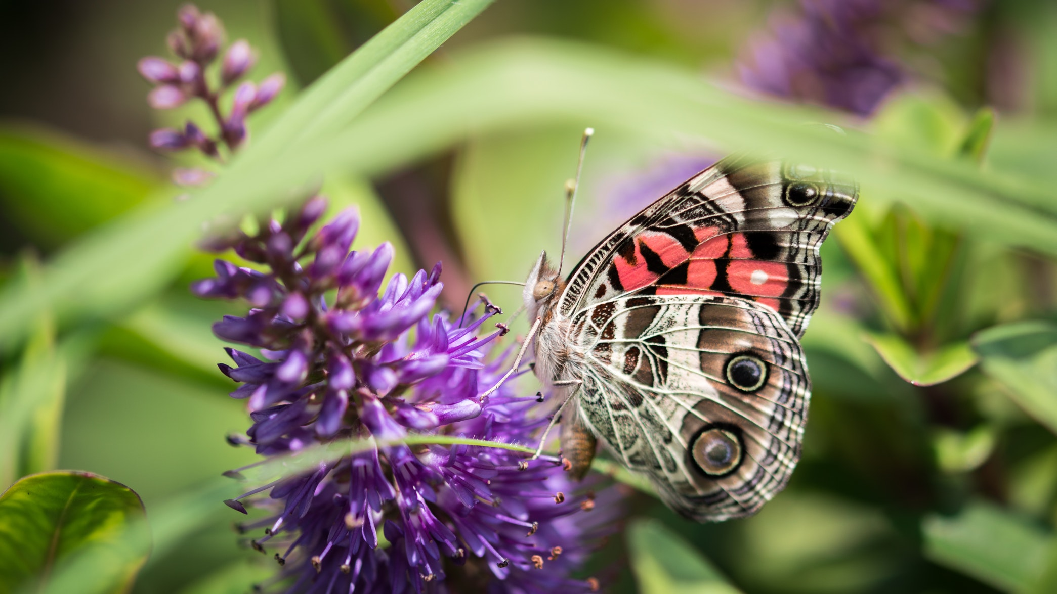 Pollinating butterfly Shot by @soberanes