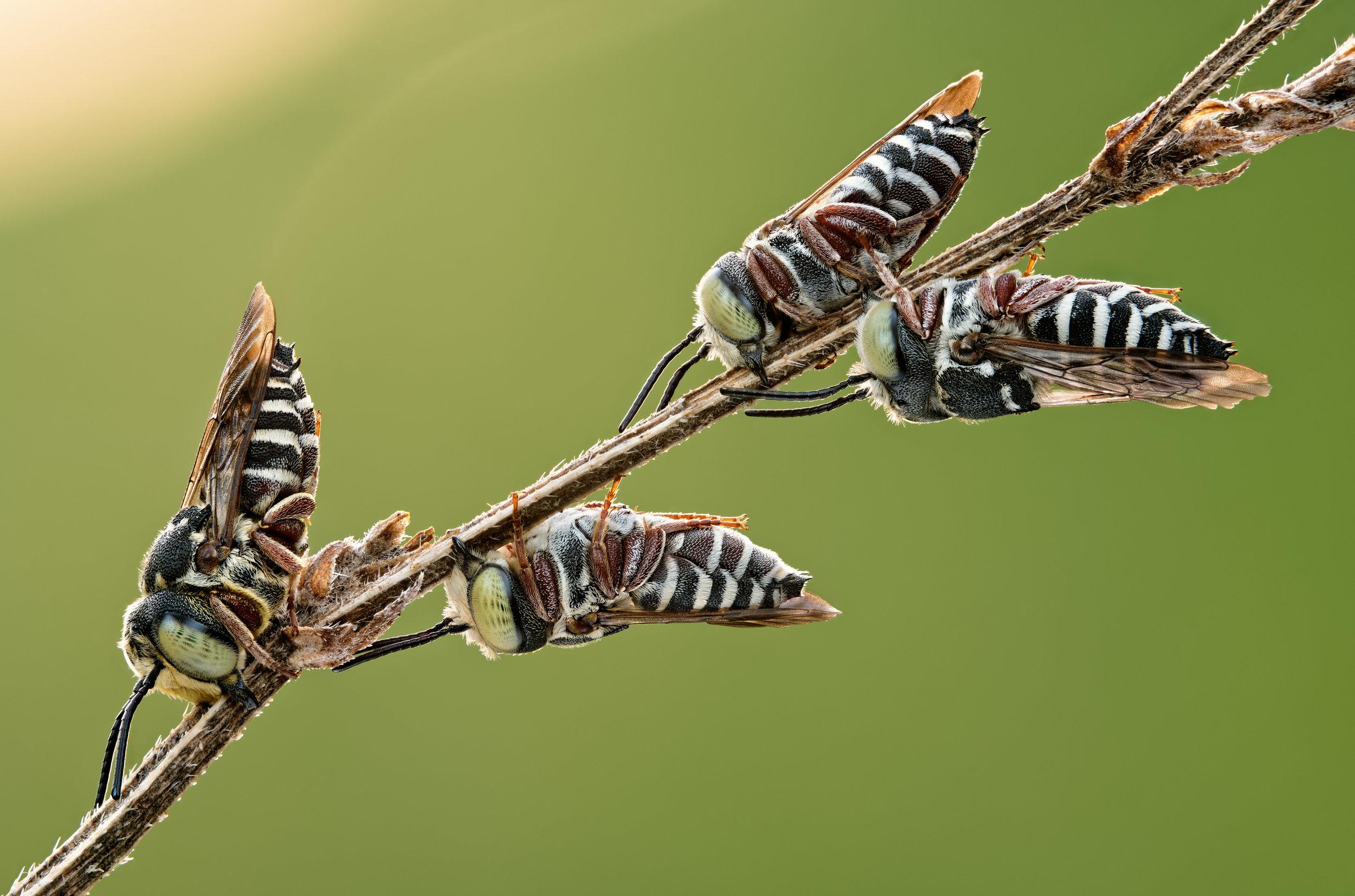 4 sleeping-bees on twig - d850 - sigma 150 - bw08.jpg