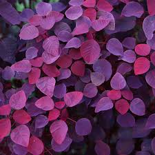 Red & purple leaves are only that color because of the presenceof sugars and sap that are trapped within the leaves. Thesesugars provide the plants with the energy they need to survive. -