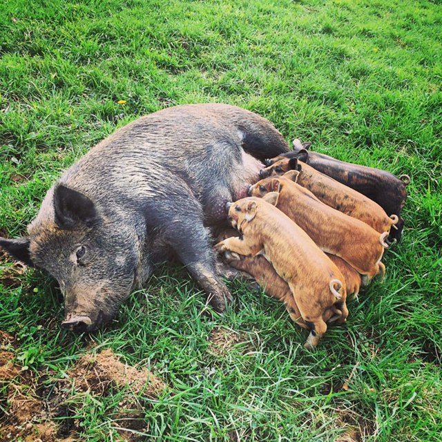 Apple FinishedGMO-FreePastured Pork - Pigs are our passion at Fallen Aspen Farm. All of our pigs are given a daily ration of non-GMO feed and are moved frequently to new pastures. We keep their grain intake at a minimum because we strongly believe that the best tasting and healthiest pork comes from a more natural diet including vegetation, roots, forage, etc... They are also supplemented with pumpkins and nuts when in season.We let our pigs BE pigs. They are raised outside all year round where they have the ability to root, range and form relationships with other pigs. We provide shelters and dry bedding. Our piglets are farrowed and finished on pasture. We leave the weaning time up to our sows. Our piglets are never separated from their mothers before 8 weeks old.We have taken heritage breeds, mixed our own and are still working towards our perfect hybrid for our farm. Our breeds include Idaho Pastured Pigs, Mulefoot, Large Black Hogs, Duroc, Mangalitsa, Hereford, Red Wattle, Kune Kune, Gloucestershire Old Spot and Ossabaw Island Hogs.