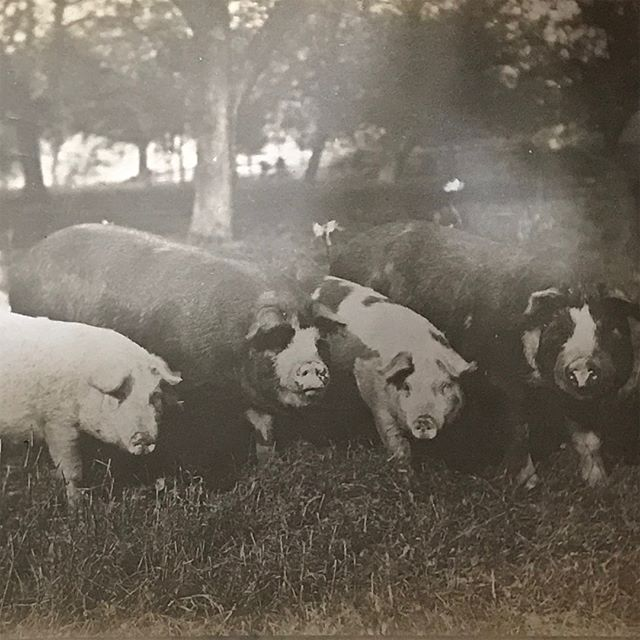 My mom went through some old photos Picture one is my great, great uncle Charlie's pigs ON PASTURE! Picture two is my Grandpa Wagner Picture three top left row is great Grandpa  Kristophel @feelgoodfarms pretty sure first two pictures were taken at your house  #oldfamilyphotos #farming #drafthorses #multigenerationalfarmers #pigs #pasturedpigs #pasturedpork #backwheneverythingwasorganic
