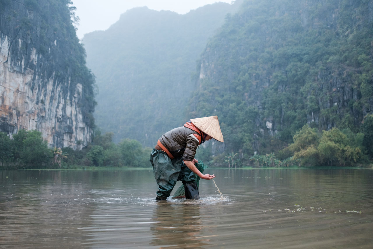 vietnamese woman collecting snails in tam coc rice fields