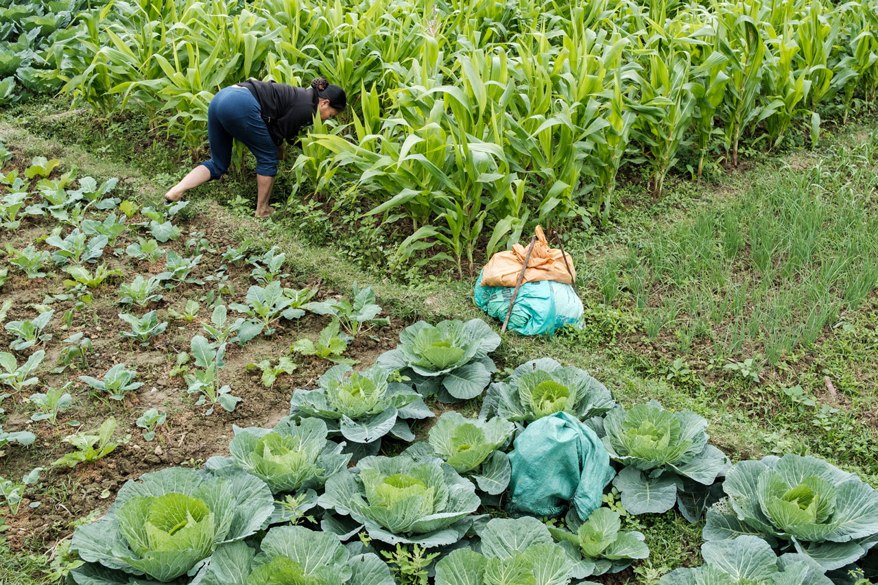 vietnamese farmer woman harvesting vegetables