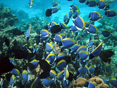 Shoaling. These surgeonfish are swimming somewhat independently, but in such a way that they stay connected, forming a social group form. Caption from  Wikipedia , photo taken by  Uxbona