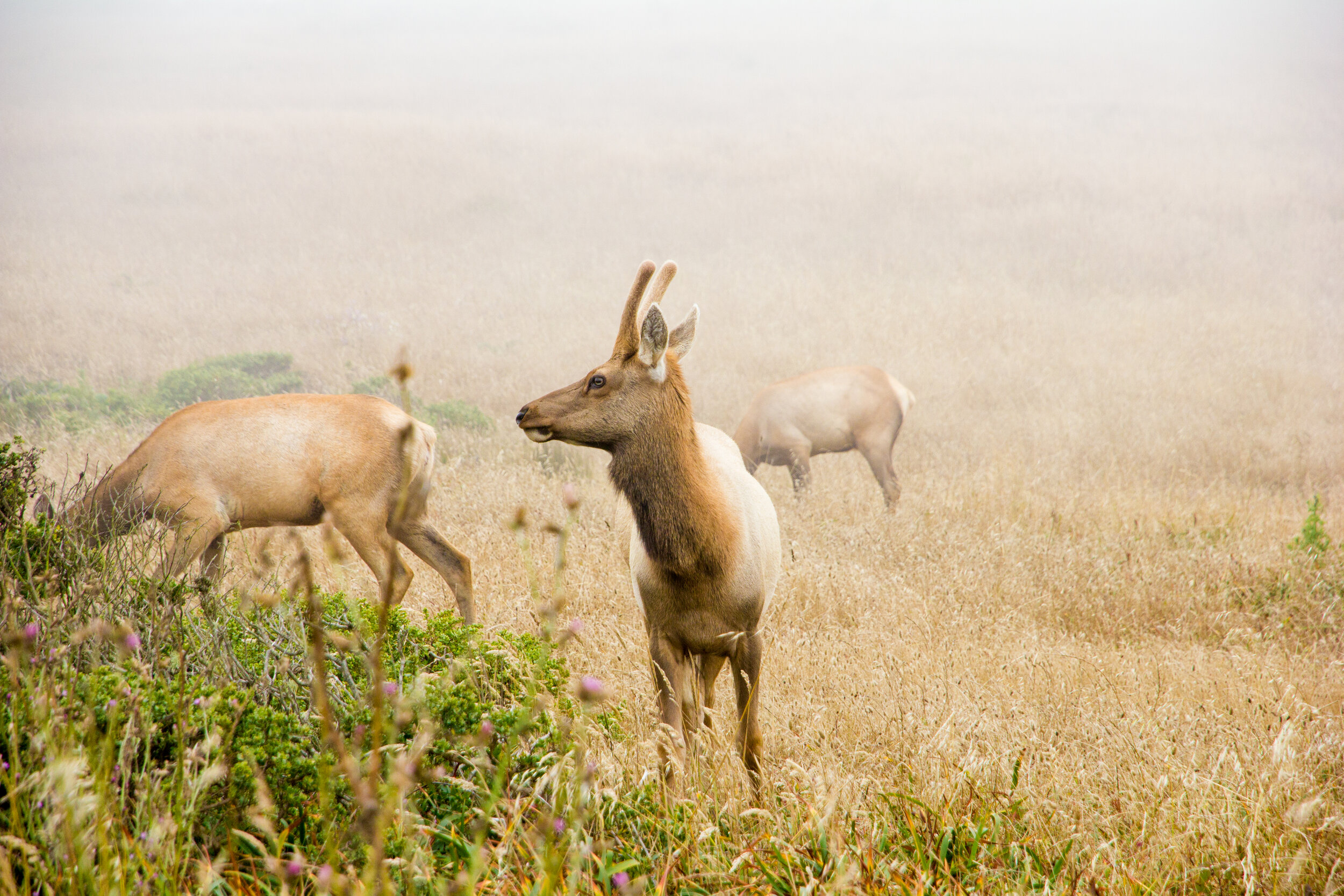 Endemic to California, the tule elk once thrived across the state before their near extinction following the Gold Rush of 1849. To reintroduced the eradicated population of tule elk herds, the Preserve at Tomales Point was established over 40 years ago and has become a unique attraction for visitors and locals alike. // Isabel Baer