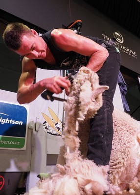 Guy Fraser winner senior shearing