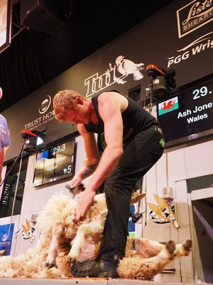 Ash Jones Wales winner Junior shearing.jpg