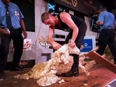 Gavin Mutch Open Shearing winner