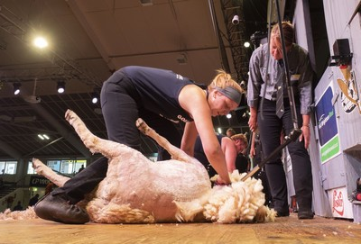 Katie Reid, of Perthshire, Scotland, in today's Golden Shears Junior shearing championships semi-final in Masterton. She qualified in third p;lace of six for Saturday's final.  PHOTO/Pete Nikolaison, Golden Shears.