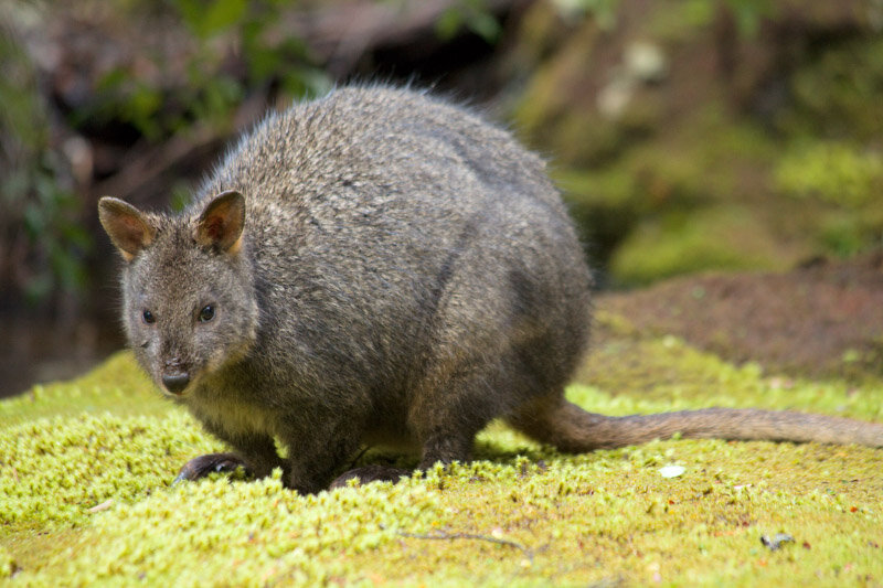 Mountain Peak Photography — Tasmanian Pademelon