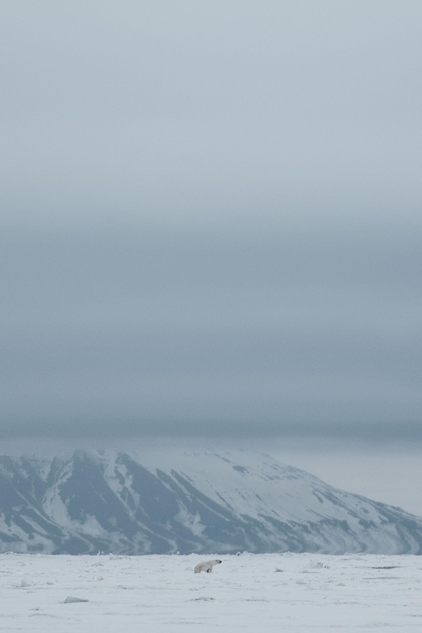 Copy of polar bear on Svalbard
