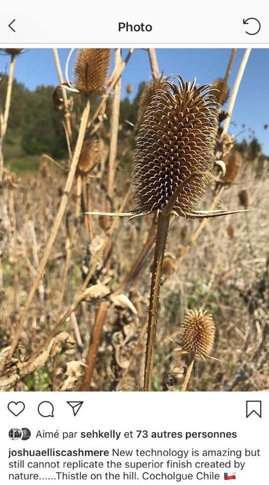 Des cardères qui poussent sur une colline au Chili.
