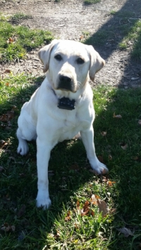 Brock is our Prize Hound! - AKC English white male Lab with champion lines and trained as a pointing lab for Pheasants and Quail.