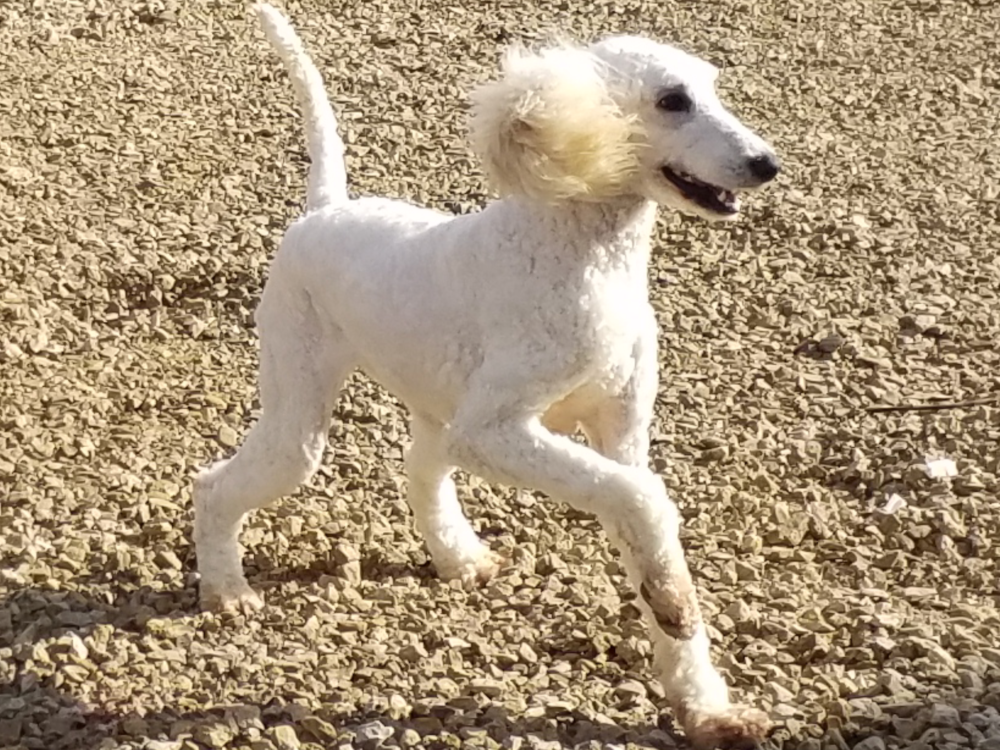 "Allegra ""Alle"" our other phantom lined standard poodle!!....Seriousy...we try to take her seriously...hahaha!"