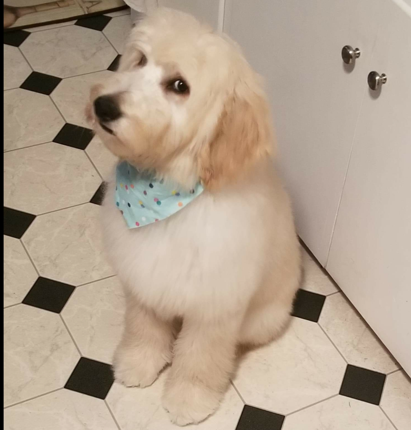 Bear and Claire Doodle!! He is 5 months old in this picture and lives with his family over by Topeka! Look at that soft nonshedding fur coat!