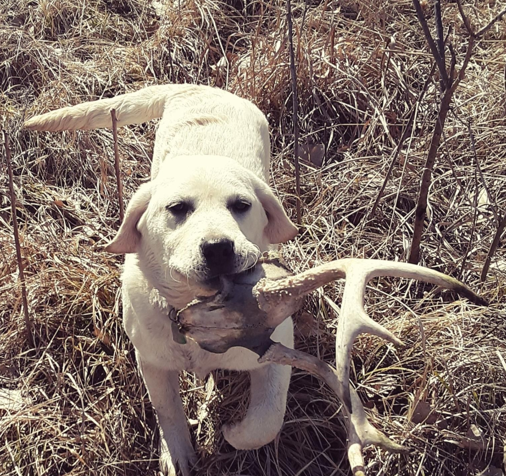 Jeff Morris is at it again with one of our pups!!  Elsa is being shed trained and has proven successful.  At only 5 months old, here's our girl!!  Brock can't wait to get some quality alone time with this princess!…but he's going to have to wait awhile.