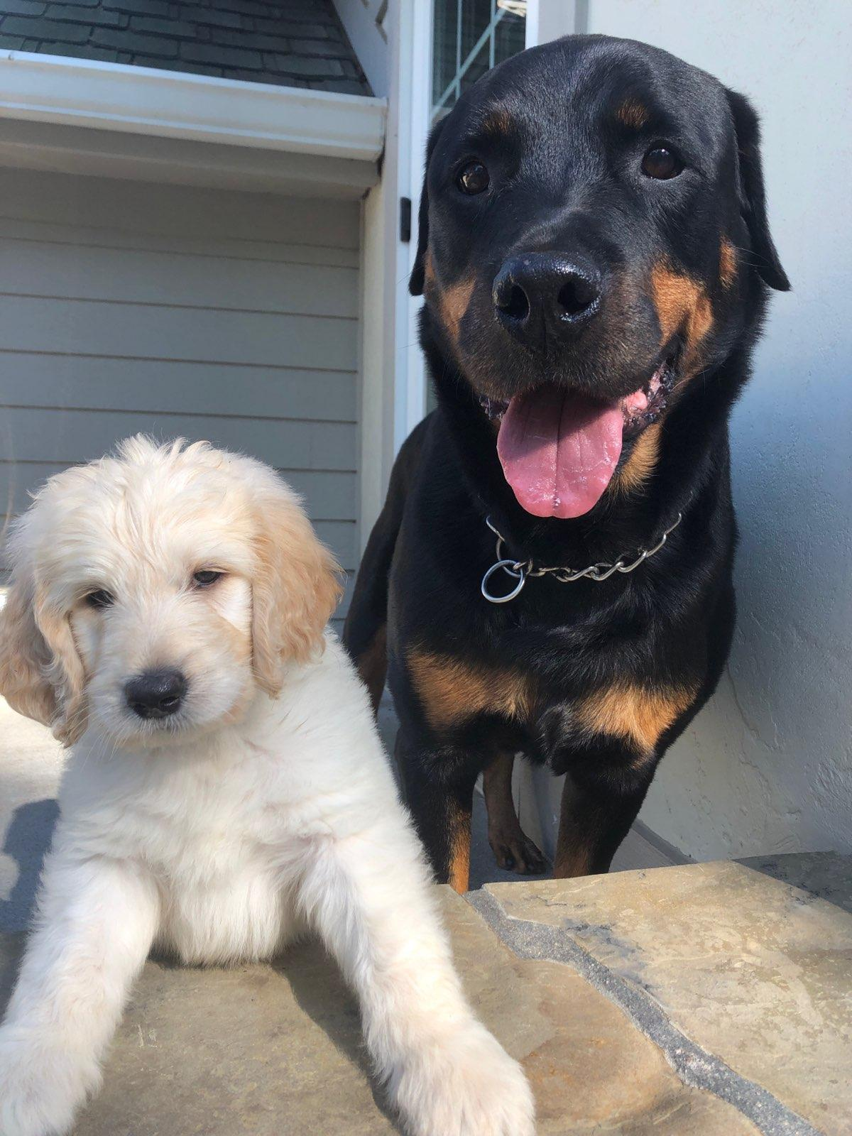 Kai with his new big brother, now living in Omaha NE. They reportedly keep arguing over which one was adopted! ;-) Kai is a Goldendoodle pup from Bear and Alle.