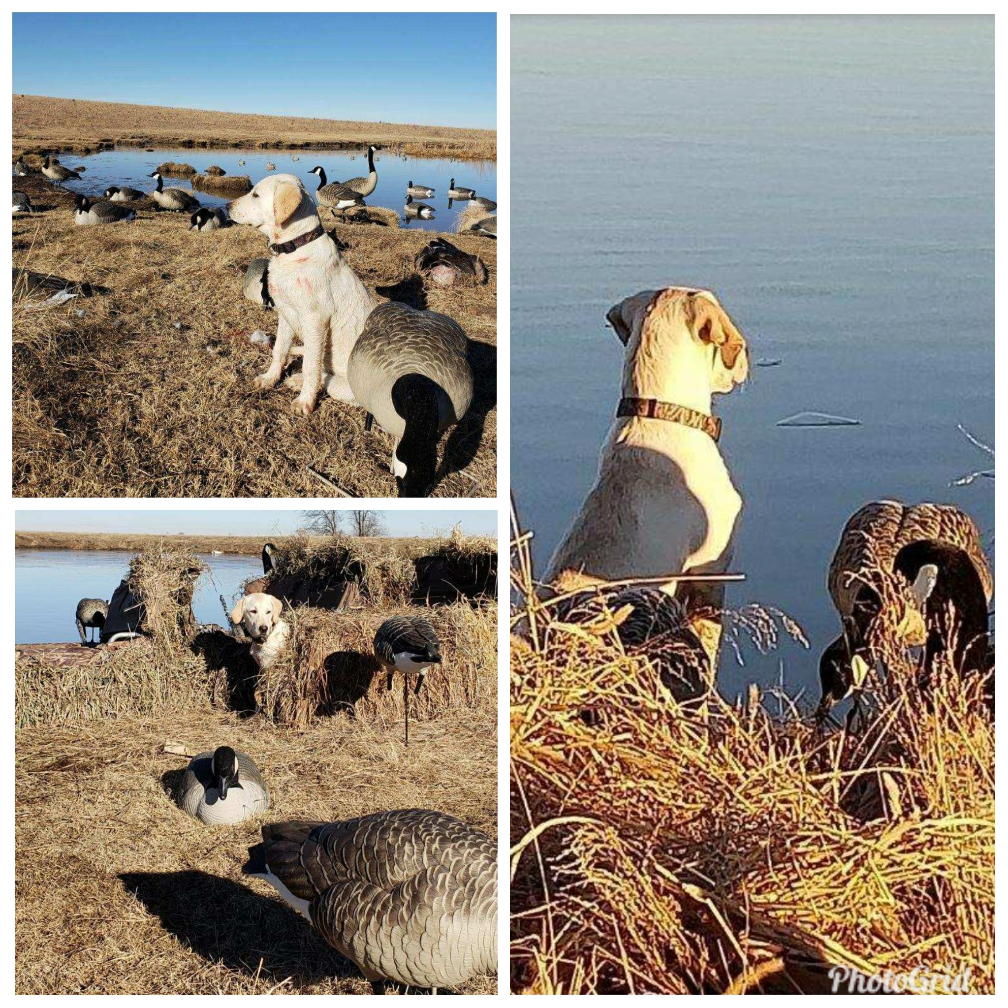 Emma has been a bird dog from the start, barely bigger than the geese she is hunting in these pics. She is a north Riley County pup belonging to her dog dad Monte.  Emma's sire is Got Game's Prize Hound; Brock (pointing lab for pheasant and quail).