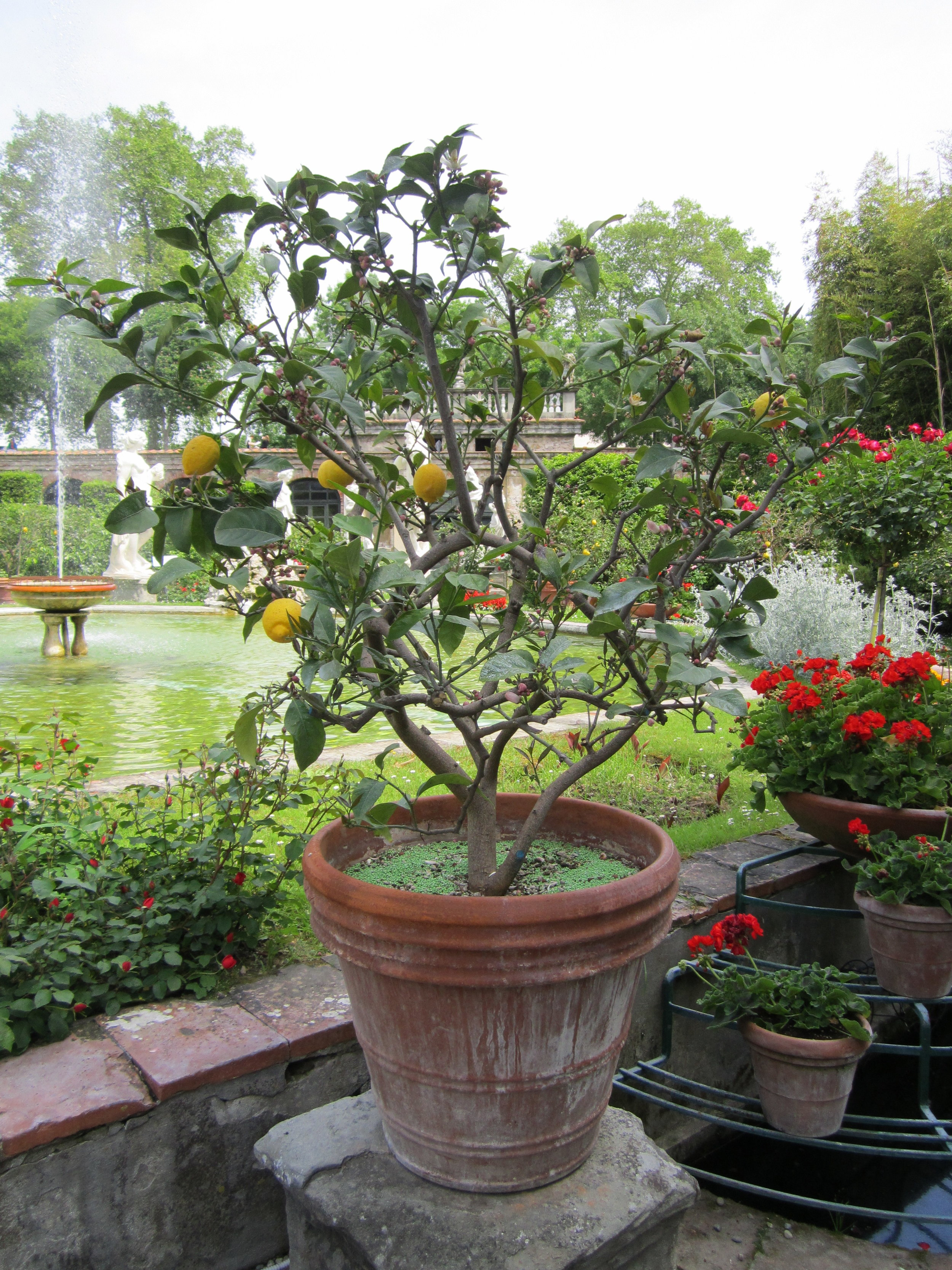 A lemon tree in late spring, Palazzo Pfanner.