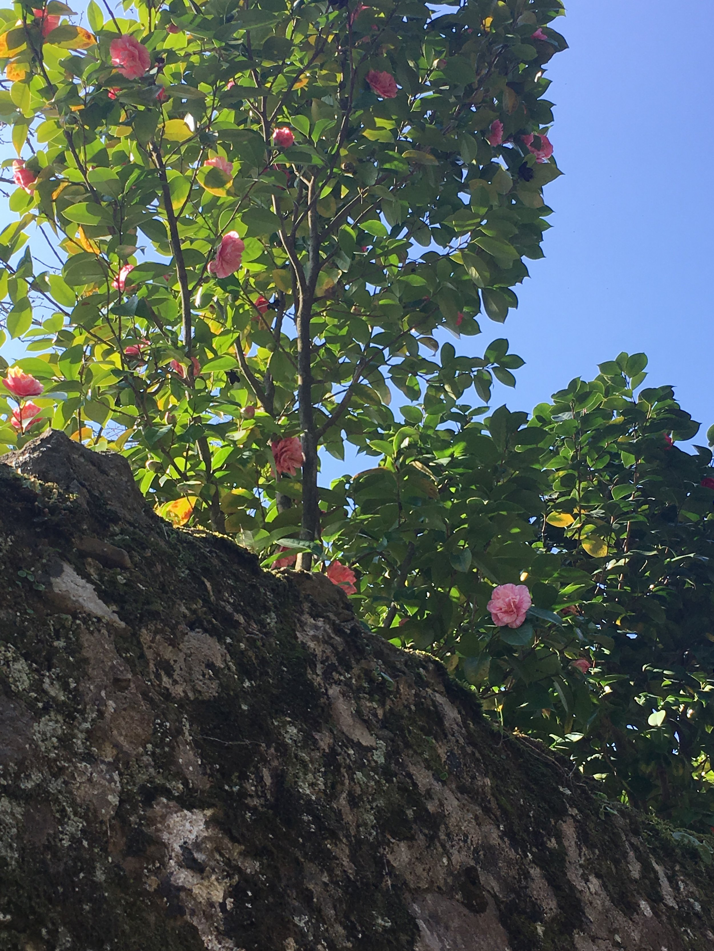 Camellias grow above an old stone wall in Sant'Andrea di Compito.