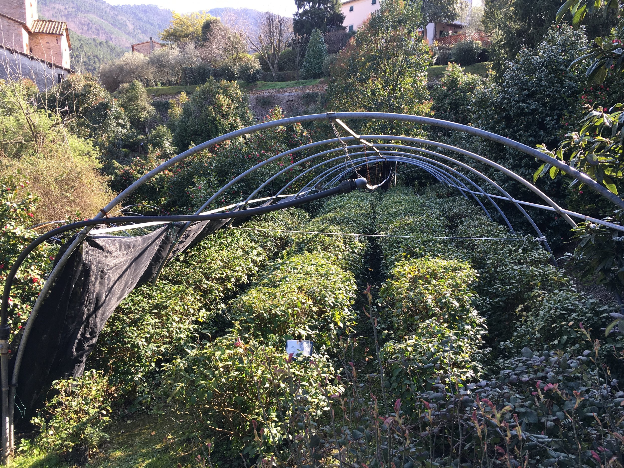 Tea plants are raised in the Antica Chiusa Borrini, a large walled garden in Sant'Andrea di Compito.