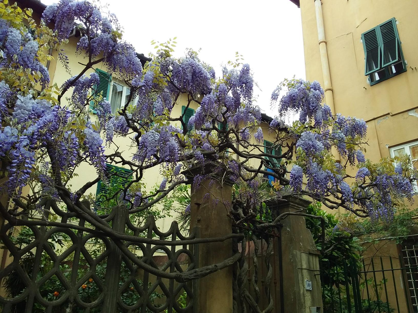 Wisteria in full bloom, Piazza Parigi, Lucca