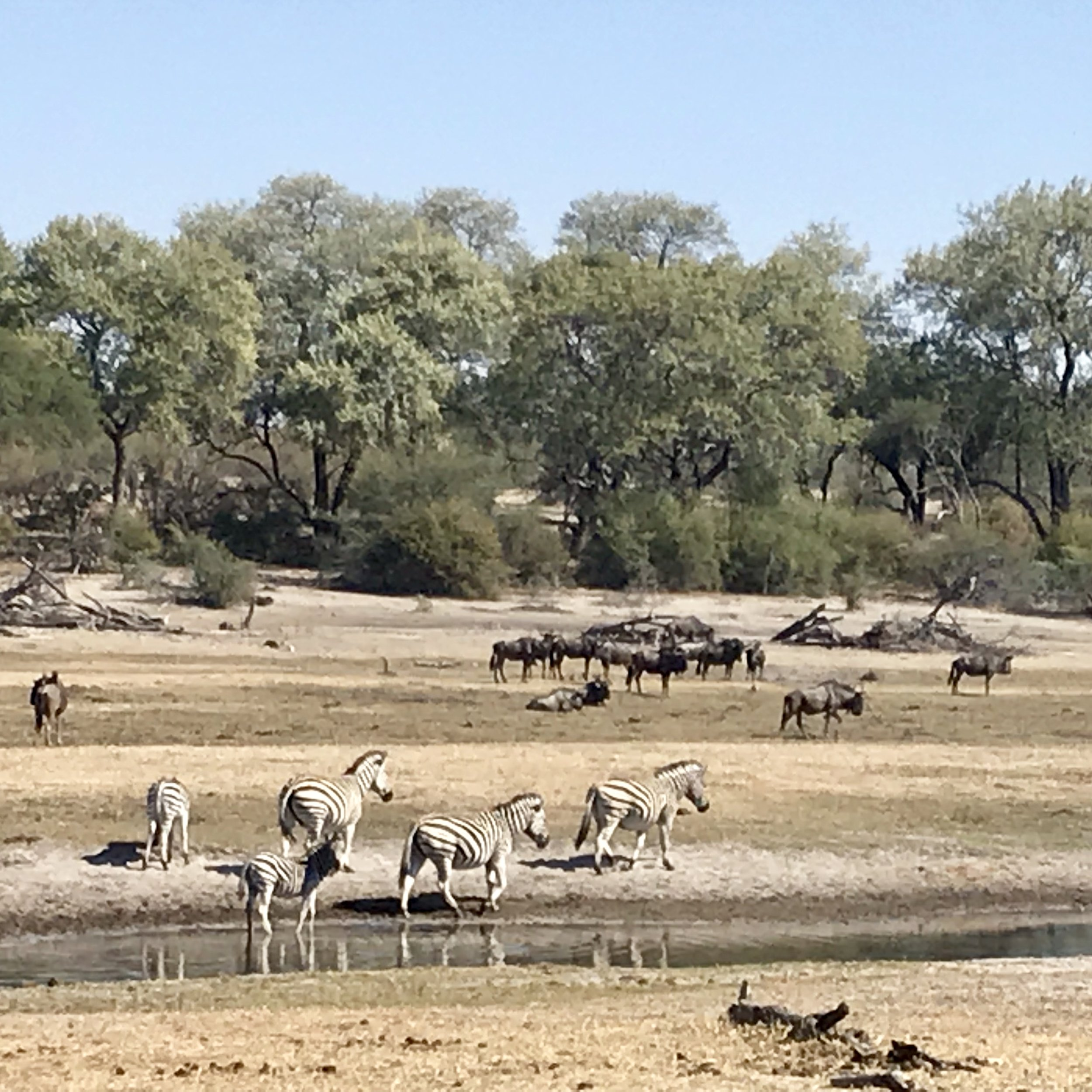 Zebras and wildebeest - they often travel together.