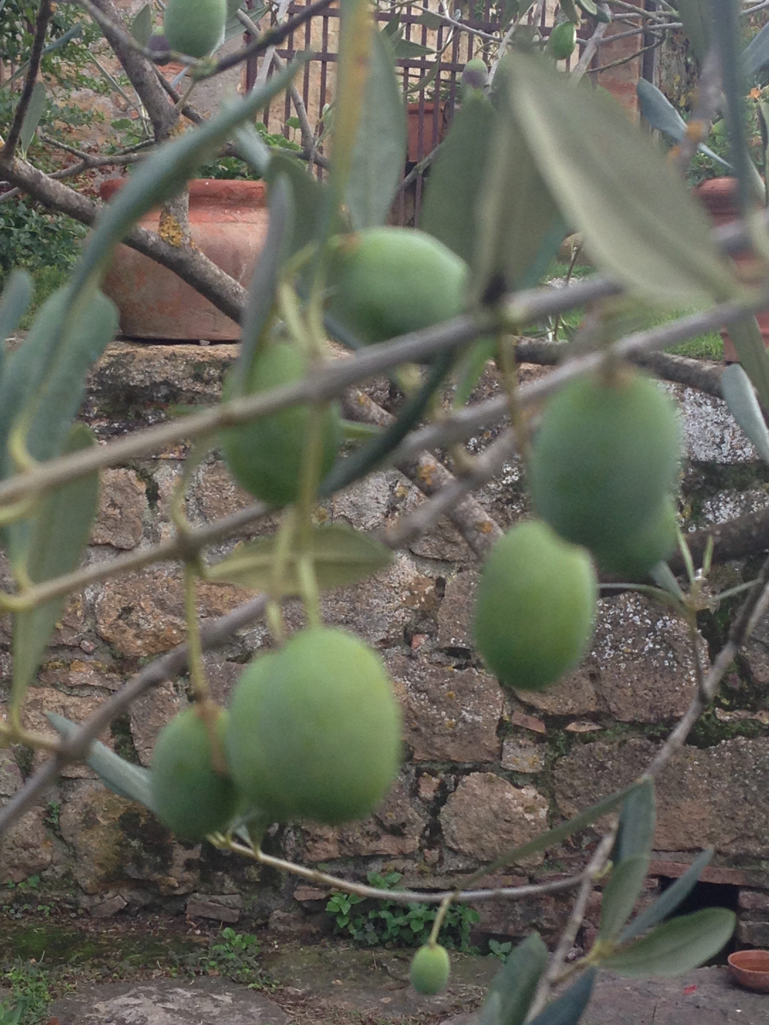Olives not quite ready to harvest
