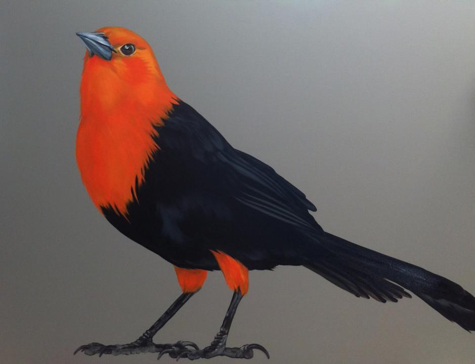 Scarlet Headed Blackbird