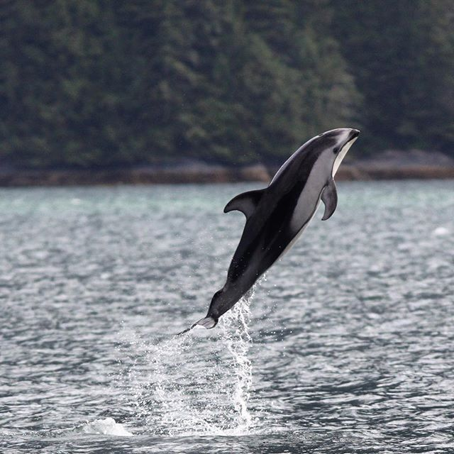 Happy #MondayMotivation!  Our Pacific white-sided #dolphin #fieldwork is going swimmingly. (Sorry.) We've been seeing heaps of #dolphins. Getting lots of photos. Using #drones for our emerging #conservation #tech program, while training the next generation of #WomenInSTEM #wimms. We were struck by the number of #salmon #fishing #boats around, so we launched a quick genetics study to see which river these #fish are coming from. We've had a few hiccups, but nothing serious.  We're wondering what happened to this dolphin, just below the tail? Did an #orca take a bite out of it? Did it get hit by a #boat propeller? What do you think?  Thanks to TeamDolphin2018: @lobo531, @lo.yruretagoyena, @alimosphere, @erinashe, @mollybrowndog. Thanks to @patagoniaseattle & @lushcosmetics for supporting our noninvasive, #conservation-minded fieldwork.