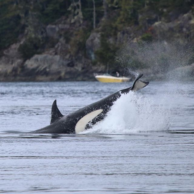 Thank you for supporting our efforts to keep #orca habitat clean, quiet, and full of wild #salmon!  #linkinbio